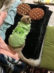 Norio Disguised as a Frog (sjrankin) Tags: 12october2018 edited animal cat norio nest tunic frog frogtunic green night blanket floor livingroom warmingdisc kitahiroshima hokkaido japan