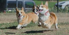 Sacramento Corgi Pack meet up 10/7/18 (etgeek (Eric)) Tags: sacramentocorgipack corgi pembroke short stumpy dog playtime welshcorgi n6oim 9682742