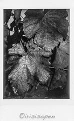 Weinblätter # 12 # Leica SOFORT instax MONOCHROME - 2018 (íṛíṡíṡôṗĕñ ◎◉◎) Tags: leica sofort film instant analog schwarzweiss bw instax monochrome irisisopen