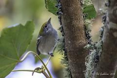 Chestnut-sided Warbler (Bob Gunderson) Tags: birds california chestnutsidedwarbler goldengatepark mclarenlodge northerncalifornia sanfrancisco warblers woodwarblers
