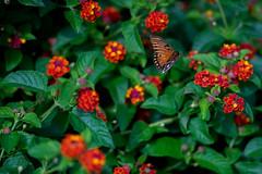 Butterfly (Phet Live) Tags: phet live sony a7 leica 135mm f28 elmarit