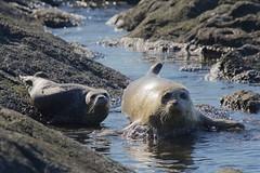 Parenthood 2 N5H_2567 (chris f8) Tags: seals mandarteisland harostrait britishcolumbia canada