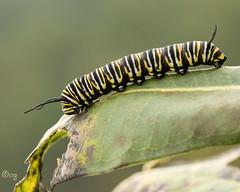 monarch (crgillette77) Tags: pennsylvania lycomingcounty caterpillar monarch danausplexippus milkweed