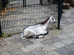 born_085 (OurTravelPics.com) Tags: born goat kasteelpark zoo