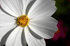 P1040052 (Keishi Etoh rough-and-ready photoglaph) Tags: flower panasonic lumix gx7 panasoniclumixgx7 dmcgx7 panasonicdmcgx7 microfourthirds olympusmsystemgzuikoautow28mmf35 olympus 56mm mf manualfocuslens primelens fixedfocallengthlens oldlens om ommount 単焦点 標準