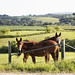 Mules gaze from opposite directions in rural Clayton County, Iowa. Original image from Carol M. Highsmith's America, Library of Congress collection. Digitally enhanced by rawpixel.
