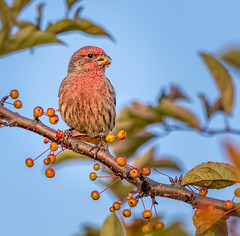 Berry Tasty (Wes Iversen) Tags: burton formarnaturecenter formarnaturepreservearboretum haemorhousmexicanus housefinch michigan tamron150600mm autumn berries birds branch leaves nature trees wildlife