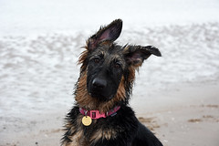 Soggy Pup (dawn_macroart) Tags: gsd puppy wet sea soggy fur formby beach pets dogs