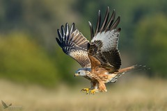 Kania Ruda, Red Kite (Milvus milvus) ... 2018r (Rafal Szozda) Tags: redkite birds nature animals wildlife colors meadow wings autumn flight nikon nikkor lens lubuskie poland