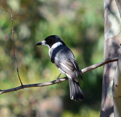 Grey Butcherbird in Yarra Bend Park (Mark Tindale) Tags: bird avian birdwatching greybutcherbird