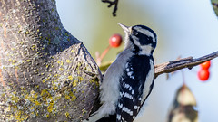 IMG_0111 (brian.a.stamper) Tags: animal bird downywoodpecker dryobatespubescens stlouis missouri unitedstates us