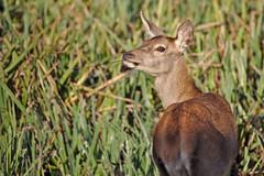 Rdnk (R.D. Gallardo) Tags: ciervo animal wild life salvaje salburua vitoria berrea canon eos 6d eos6d sigma 150500 raw retrato