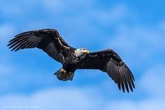 American Bald Eagle © (Rodolfo Quinio) Tags: americanbaldeagle baldeagle nikond500 nikonafs500mmf4gedvr eagle raptor birdofprey bird nature wildlife 34