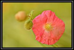 "31/100 for ""100 Flowers 2018"" (NikonShutterBug1) Tags: nikond7100 tokina100mm nature wildlife bokeh spe smartphotoeditor closeup macro flower flora 100flowers2018"
