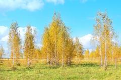The golden autumn (arthurverigin) Tags: autumn russia forest birch siberia