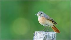 Rougequeue à front blanc / Common Redstart (denismichaluszko) Tags: oiseau rougequeue à front blanc common redstart bokeh couleurs free libre sauvage birdlife nature wldlife
