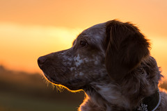 Sunrise Koukla (colorgraVie) Tags: bokeh bretone englischersetter hund nikonafsnikkor85mm118g nikond7200 pointer sonnenaufgang tier brittany englishsetter dog sunrise animal