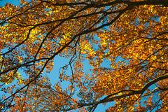 Autumn foliage (echumachenco) Tags: branch tree wood plant leaf foliage autumn autumncolors fall october light sky blue yellow orange nikond3100 forest