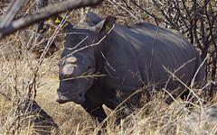 White rhino, Matopos NP (nisudapi) Tags: 2018 africa zimbabwe matobo matopos wildlife mammal rhino rhinoceros whiterhino
