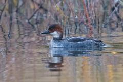 Smew (Tim Melling) Tags: mergus mergellus albellus smew redhead bretton lakes west yorkshire timmelling