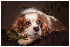 Oliver (Pepenera) Tags: dog dogs cane cani cavalier foglia portrait