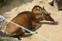 Chester Zoo Islands (137) (rs1979) Tags: chesterzoo zoo chester islands banteng