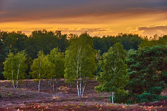 Evening mood in the birch forest (flowerikka) Tags: afternoon atmosphäre autumn autumncolors bäume birchtrees birches birken clouds country eveningmood flora flowers forest germany gras green heather heathland heazhland heidekraut heidelandschaft herbst herbstanfang landscape leaves lila nature plants purple season september sky sunset trees violett wald walk weg westruperheide wood