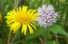Water Mint and Fleabane (ERIK THE CAT Struggling to keep up) Tags: wildflowers alimoregreen staffordshire swt menthaaquatica pulicariadysenterica ngc doublefantasy npc