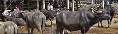 INDONESIEN, Sulawesi, Büffel- und Schweinemarkt bei Bolu, INDONESIA, Sulawesi, buffalo and pig market near Bolu/Rantepao, 17691/10709 (roba66-on vacation) Tags: sulawesi urlaub reisen travel explore voyages rundreise visit tourism roba66 asien asia indonesien indonesia insel celebes island île insulaire isla bolu rantepao markt market büffelmarkt buffalomarket schweiemarkt siiere animals tiere kuh stier bull tauro taurus