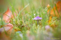 Jewels of nature... (Maria Godfrida) Tags: smileonsaturday seasonsflora nature jewels mushrooms grass leaves colours closeup macro lowangleview autumn fall season purple green plants