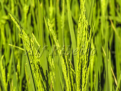 Alf 0002 - 0504 (Alf Ribeiro) Tags: agribusiness agriculture brazil brazilian cereal closeup economy leaving riograndedosul rural work agricultural background backgrounds business crop detail environment farm farming farmland field foliage food freshness grain grass green growth happiness husk land lush meadow natural nature outdoor plant plantation production rice ripe season seed staple stem