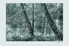 Amperau10 (siggi.martin) Tags: europa europe deutschland germany bayern bavaria baum tree bäume trees baumstamm trunk baumstämme trunks auwald floodplainforest schwarzweis blackandwhite herbst autumn herbstlich autumnally gegenlicht backlight glitzern glitter sparkle