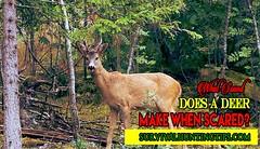 What Sound Does a Deer Make When Scared (survivalhuntingtips) Tags: deer deerhunting deersounds deercalls babydeer deersoundslindaperry deersoundsinthewoods deersoundsatnight babydeersounds learndeernoises
