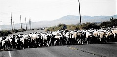 The Running Of The Sheep (Shot by Newman) Tags: sheep sheering tradition statehiway traffic thesouthwest nv shotbynewman fuji400 35mm fujifilm person road poles mountains desert