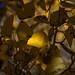 Lundy Canyon Aspen Leaf