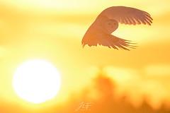 Harfang et soleil (jlf_photo) Tags: harfang des neiges snowy owl hiver wintercold wildlife wild oiseau