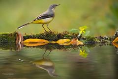 LAVANDERA CASCADEÑA (Carlos Cifuentes) Tags: lavanderacascadeña lavandeirareal motacillacinerea greywagtail carloscifuentes wildlife nature natural wildlifenature bird birds