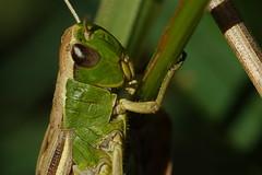 Grasshopper Macro at Tichfield Canal, Hampshire, UK (Art-G) Tags: insect green grasshopper titchfieldcanal titchfield hampshire uk canon eos7dmkii tamron90mmucvsd macro bokeh sundaylights somethingfortheweekend