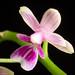 Phalaenopsis deliciosa Rchb.f., Bonplandia (Hannover) 2: 93 (1854)