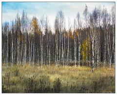 Birch Trees and Late Afternoon Light - Boden Sweden (GAPHIKER) Tags: luleälven river boden sweden birch trees afternoon happyslidersunday hss texture lenabemanna
