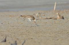 Feeding in Style!!! (Anirban Sinha 80) Tags: nikon d610 fx 500mm f4 ed vrii n g 17tc 850mm bird beak curlew sandy sea beach natural hunting