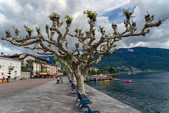 Plane Trees (Bephep2010) Tags: 2018 7markiii alpen alpha ascona berg frühling ilce7m3 lagomaggiore lakemaggiore platane sel24105g schweiz sony switzerland tessin ticino uferpromenade wald alps bank bench bewölkt cloudy forest mountain planetree spring waterfront ⍺7iii ch
