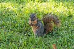 Hungry Squirrel! (SCSQ4) Tags: acorn eating fountainvalley milesquareregionalpark squirrel
