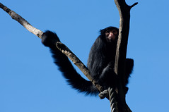 Roodgezichtslingeraap - Red-faced spider monkey (Den Batter) Tags: nikon d7200 zooparc overloon roodgezichtslingeraap redfacedspidermonkey atelespaniscus
