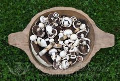 Wild Meadow Mushrooms (Tara MacDonald - www.TheVillagePlate.com) Tags: meadowmushroom wild wildmushrooms wildedibles williamstown culinary gourmet foodie september taramacdonald thevillageplate photography edible tara macdonald
