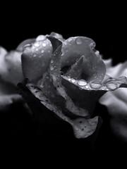 Rose after the rain. (ALEKSANDR RYBAK) Tags: роза лепестки цветок цветы дождь капли вода прозрачные чистые нежность rose flower petals flowers rain drops water transparent clean tenderness food macro closeup monochrome монохромный