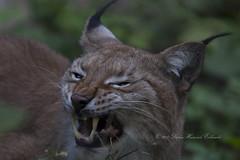 1809Luchs023 (Stefan Heinrich Ehbrecht) Tags: luchs lynx bobcat raubkatze jäger predetor