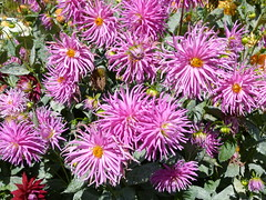 dahlias 1/8 (Jef Poskanzer) Tags: flower flowers dahlia dahlias goldengatepark dahliagarden geotagged geo:lat=3777250 geo:lon=12245931 t