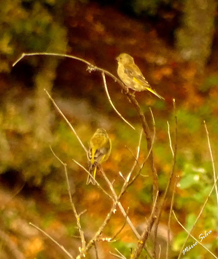 Águas Frias (Chaves) - ... duas aves, estando uma  zangada com o fotógrafo, virando-lhe rabo ...