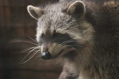 Raccoon (charliejb) Tags: bristol bristolzoo bristolzoogardens 2018 wildlife clifton maskedbandit raccoon procyon